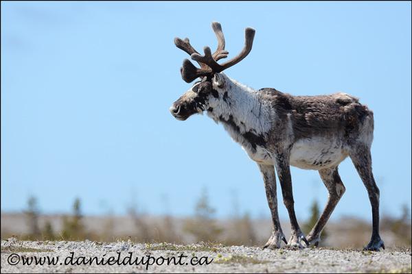 caribou_forestier_tn-16-1341