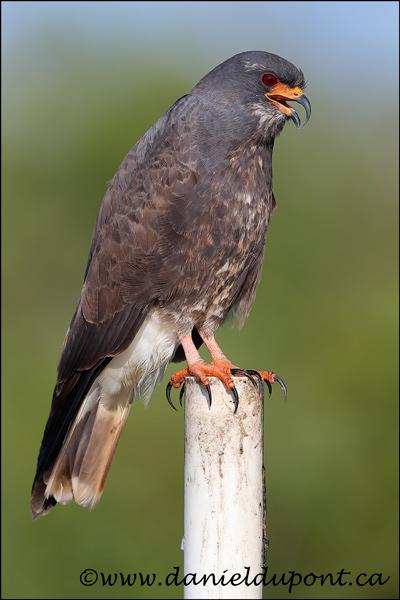 Milan-des-marais-mâle-17-9710