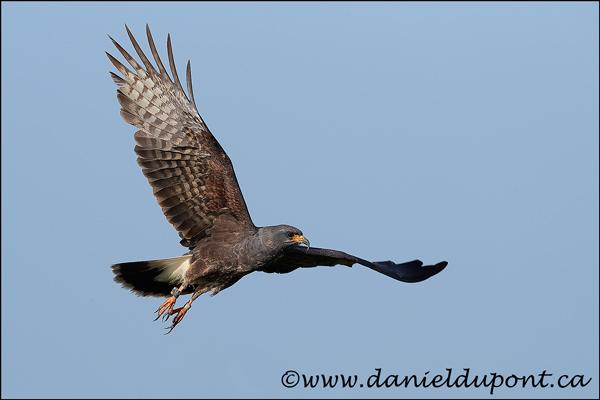 Milan-des-marais-mâle-vol-17-9937