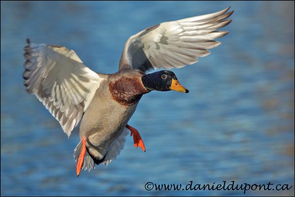 05-Canard-colvert-male-vol-12-046