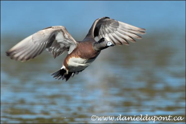 09-Canard-Amerique-male-vol-12-7519