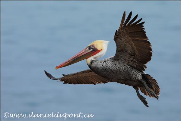 12-Pelican-brun-de-Californie-12-9069