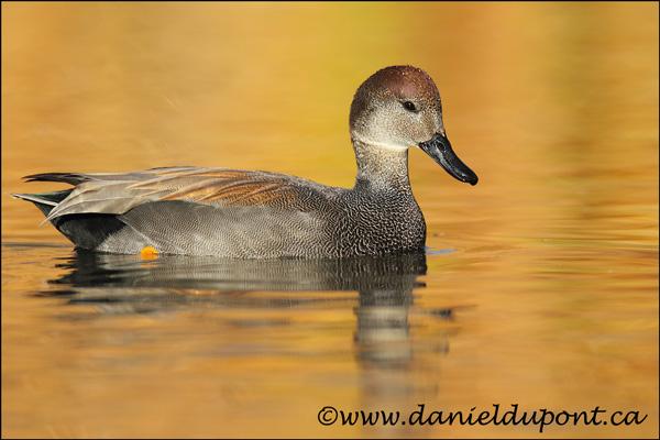 Canard-chipeau-mâle-12-1039