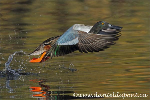 Canard-souchet-mâle-décollage-8-12-7090