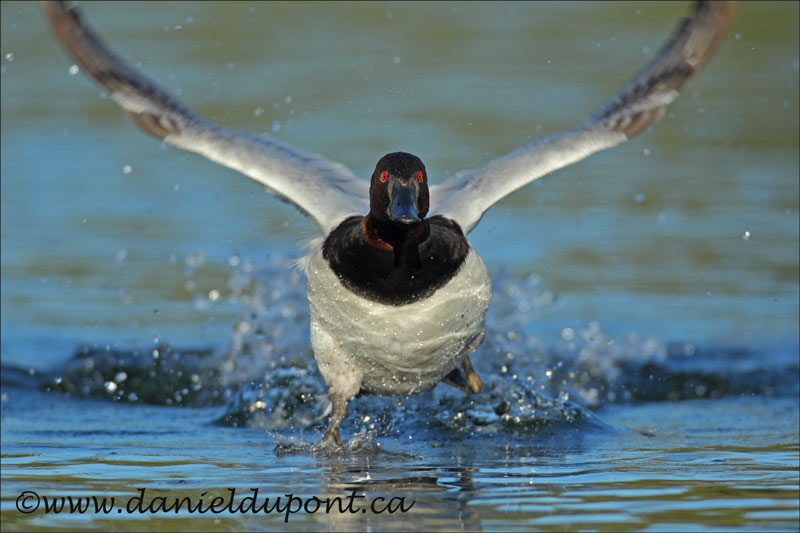 Fuligule-à-dos-blanc-mâle-vol-8-12-6089