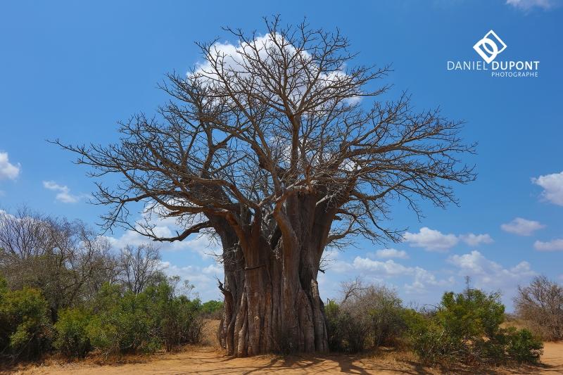 Baobab ©