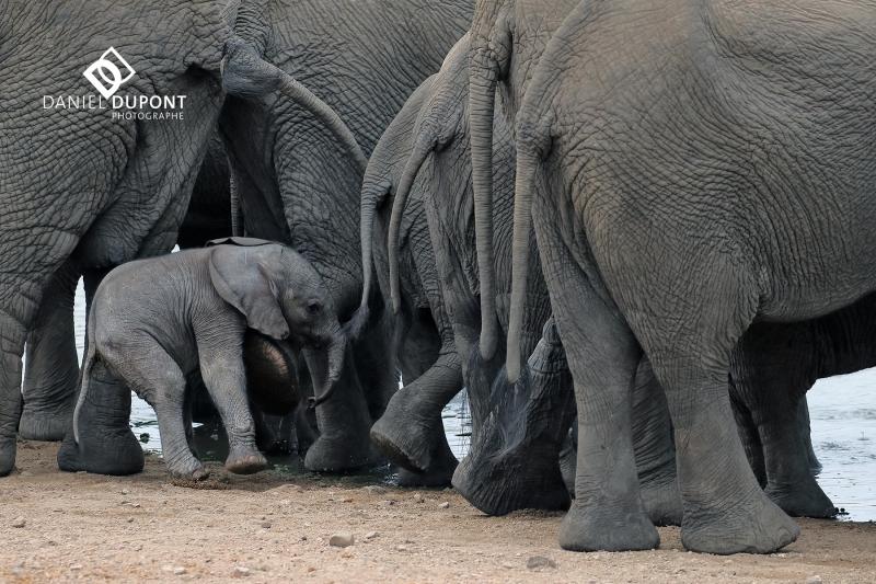 Éléphant d'Afrique ©