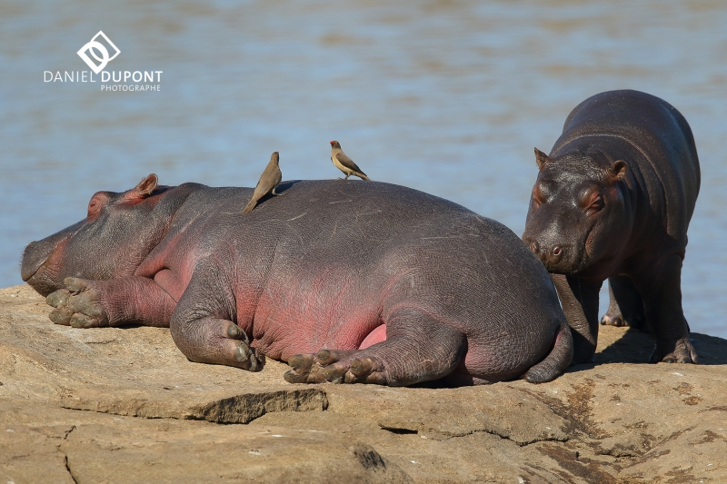 Hippopotame ©