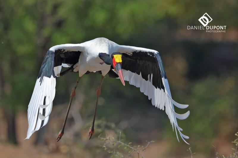 Jabiru d'Afrique ©
