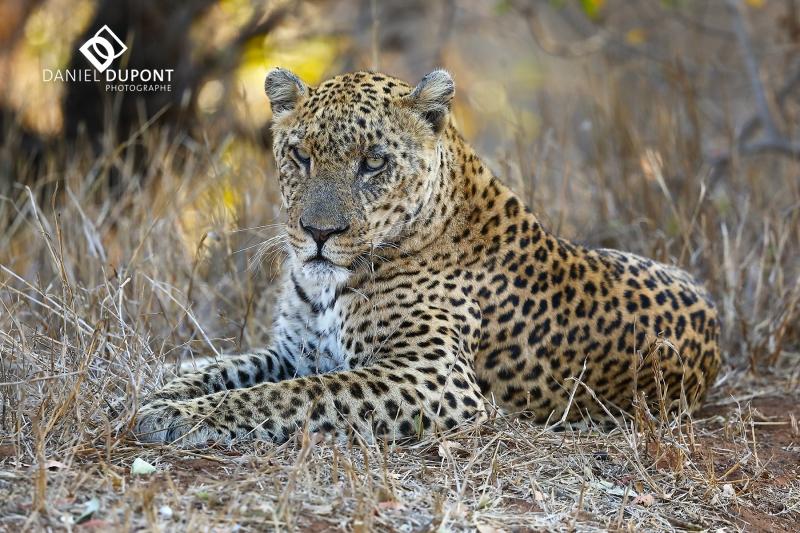 Léopard mâle ©