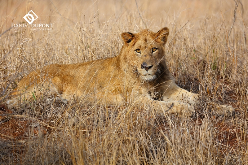Lion immature ©