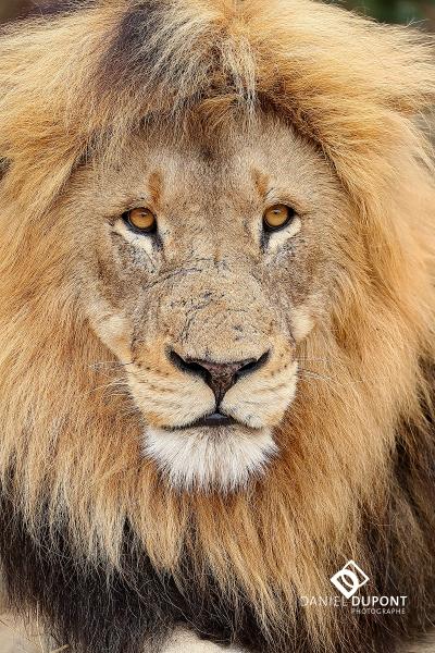 Lion mâle ©