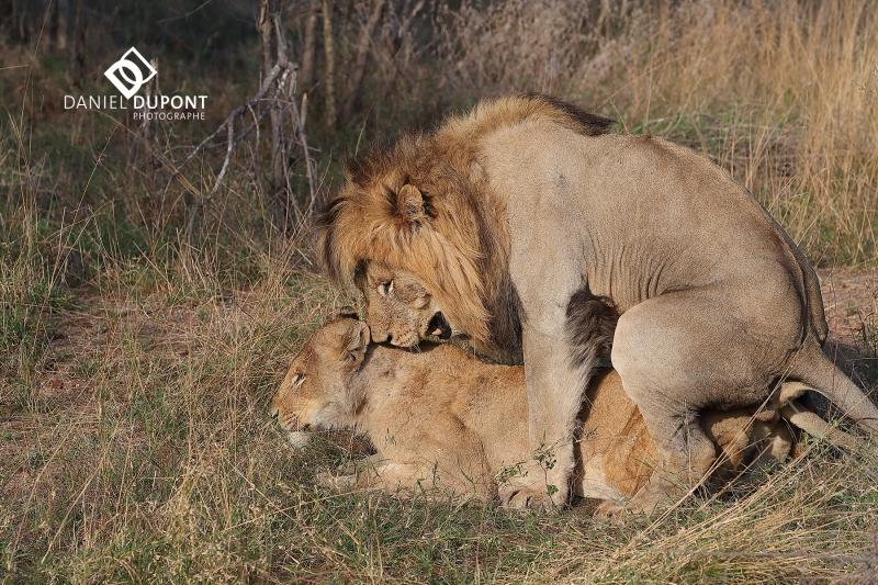 Lion ©