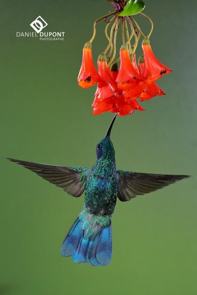 Colibri thalassin mâle