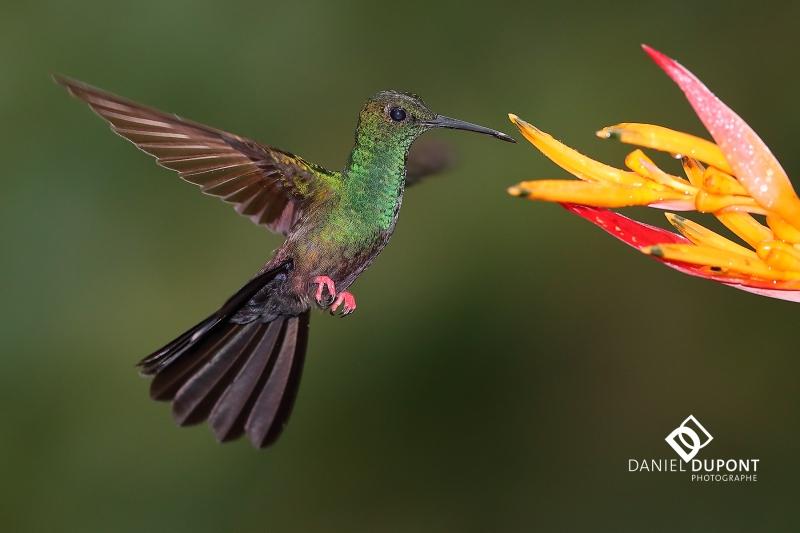 Colibri à queue bronzée mâle