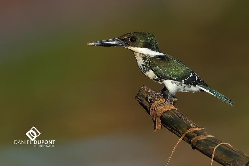 Martin-pêcheur vert femelle