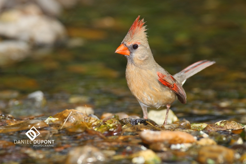 Cardinal rouge femelle ©