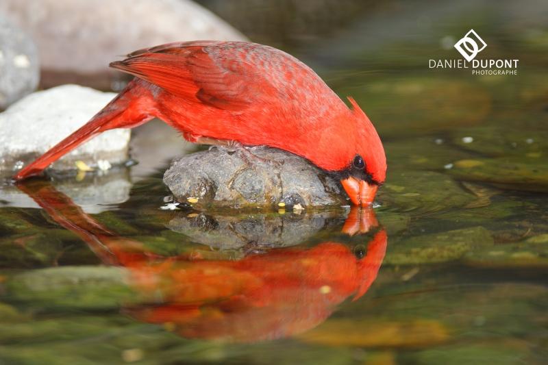 Cardinal rouge mâle ©