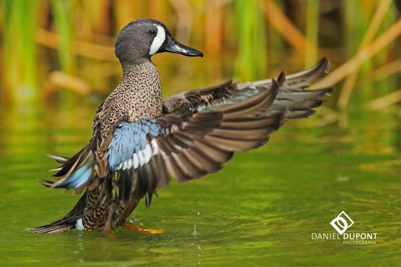 Sarcelle à ailes bleues mâle ©