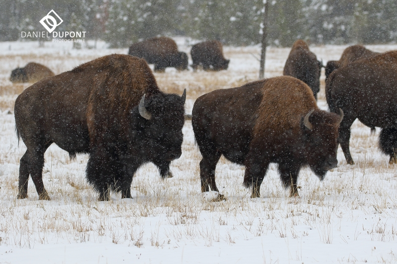 Bison ©