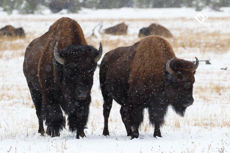 Bison  mâle ©